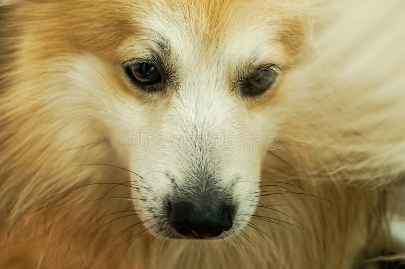 Dog head, brown and white fur. It is looking below.  stock photos