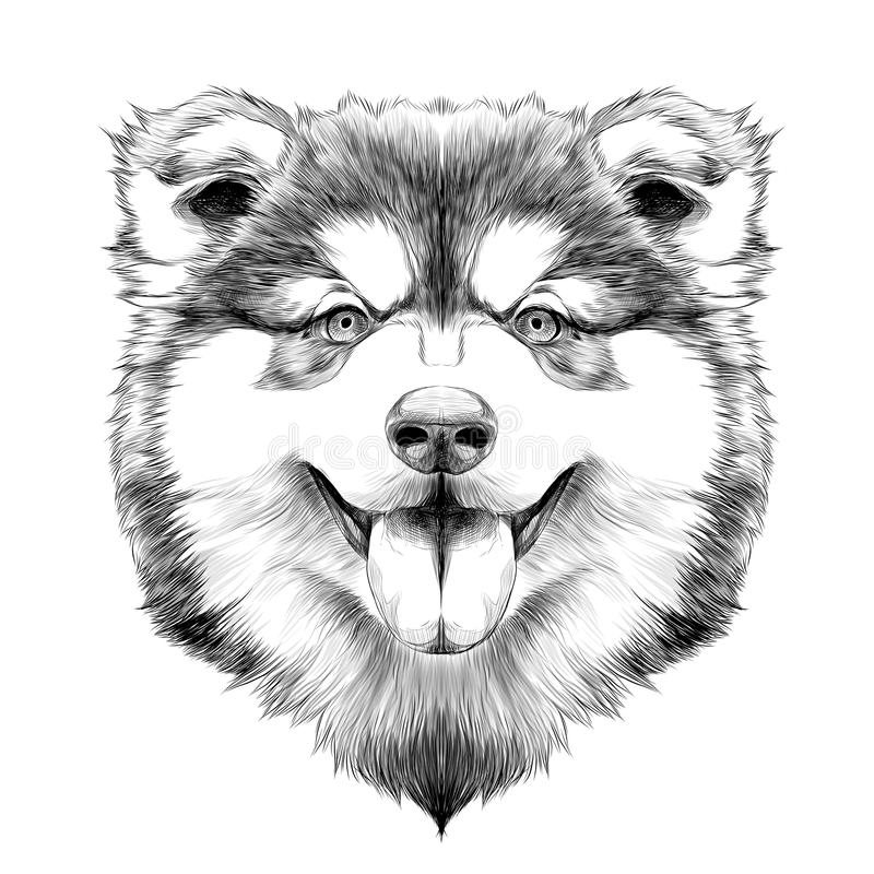 Dog head symmetry sketch vector graphics. Dog breed Alaskan Malamute head symmetry looks right sketch vector graphics color picture royalty free illustration