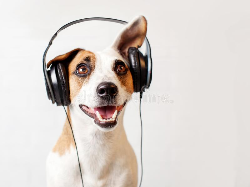 Dog in headphones listening to music royalty free stock photography