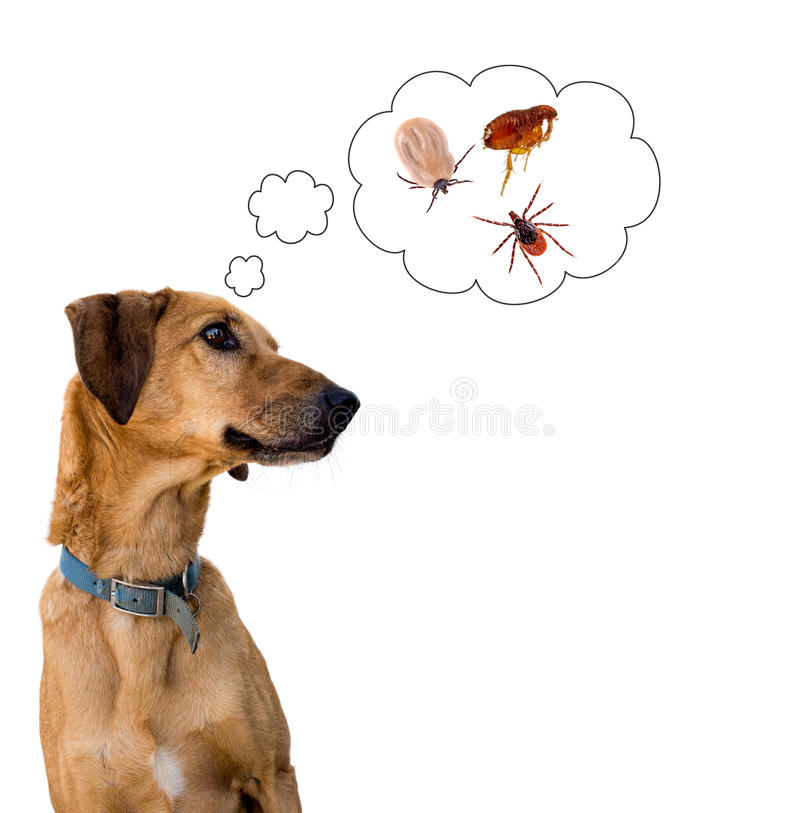 Dog health risk, ticks and flea. Disease carrier, protection. royalty free stock photography