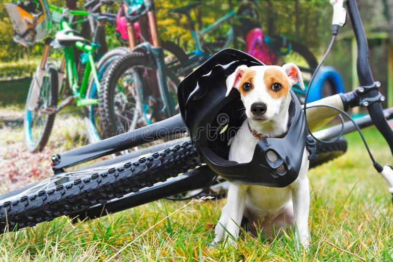 Dog in helmet on bicycle background stock photography