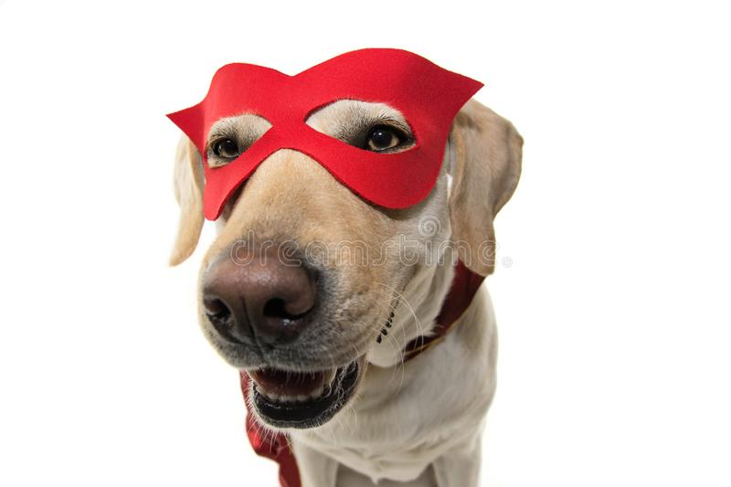 DOG HERO COSTUME. FUNNY LABRADOR CLOSE-UP DRESSED WITH A RED CAPE AND MASK. ISOLATED SHOT AGAINST WHITE BACKGROUND royalty free stock images