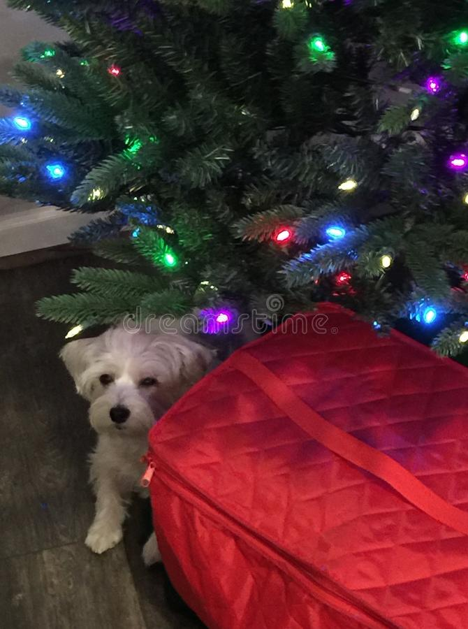 Dog hiding under Christmas tree. Morkie & x28;Maltese Yorkie mix& x29; hiding under Christmas tree royalty free stock photo