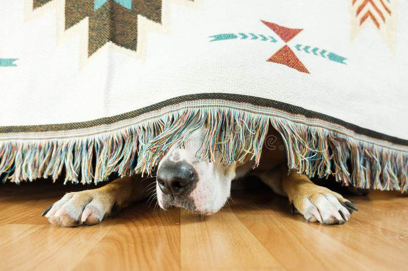 The dog is hiding under the sofa and afraid to go out. s. The concept of dog`s anxiety about thunderstorm, fireworks and loud noises. Pet`s mental health stock image