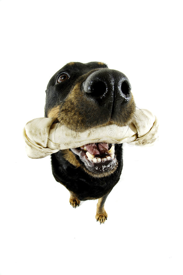 Dog and his Bone royalty free stock images
