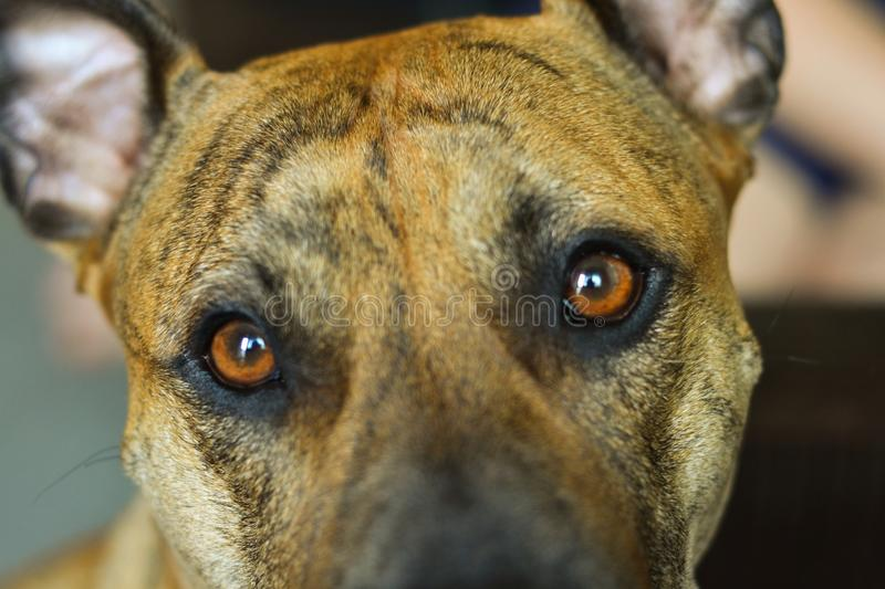 Dog and his lovely brown eyes. Portrait of dog and his brown eyes stock image