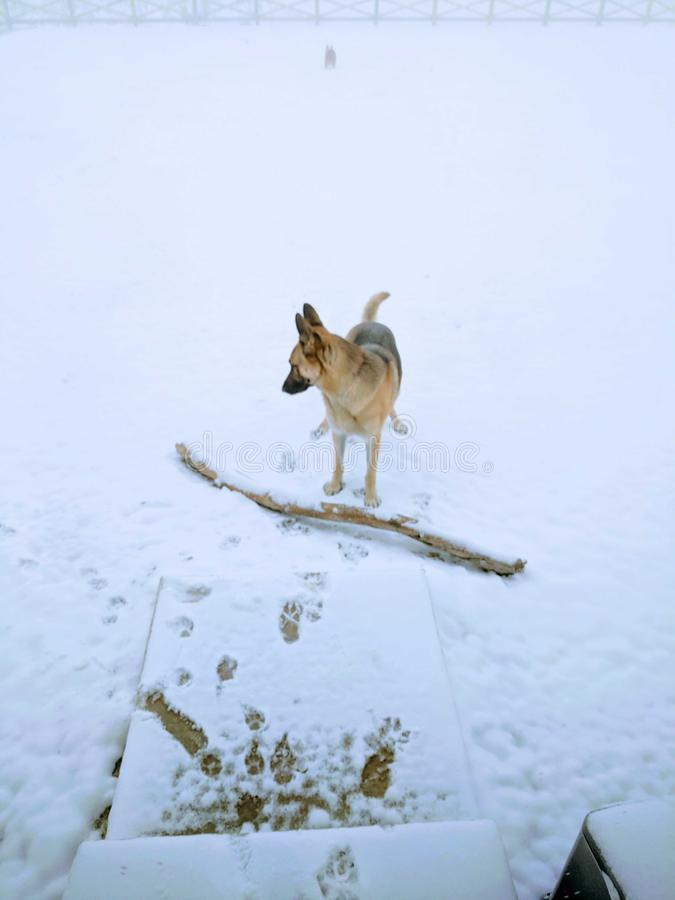 A dog and his stick in the snow stock photography
