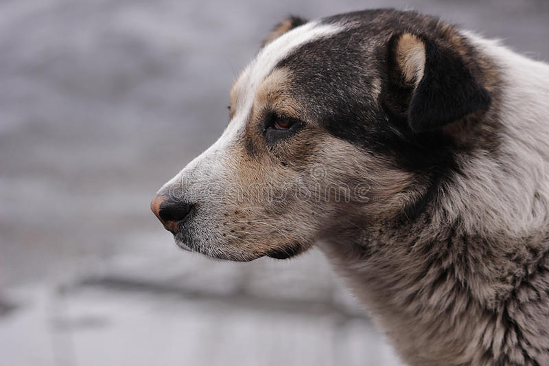 Dog hojdenie in the hope the sadness the cold waiting for the puddles of spring longing stock images
