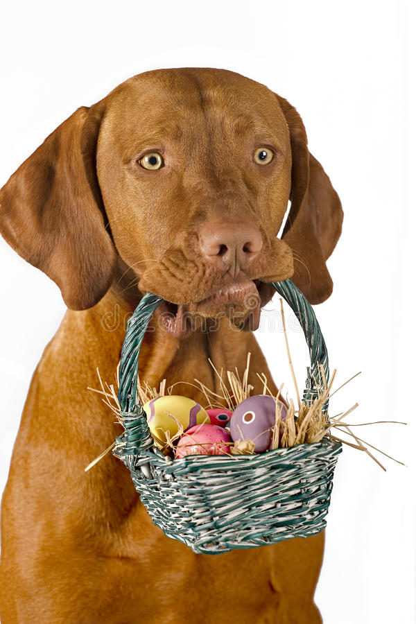 Dog holding easter basket. With eggs isolated on white background royalty free stock photo