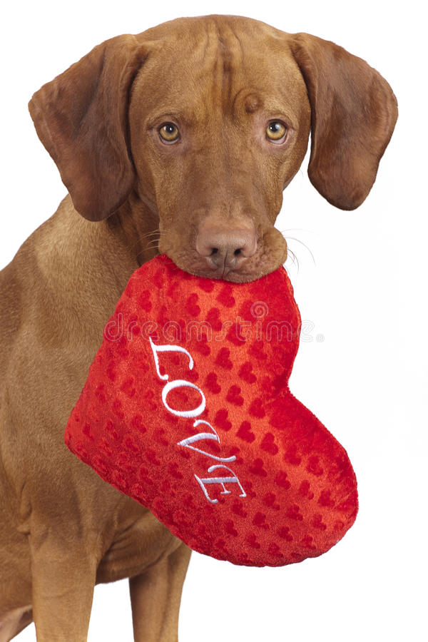 Dog holding lred heart shaped pillow