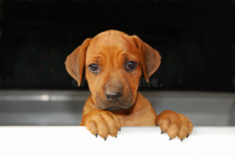 Dog holding sign. A cute little Rhodesian Ridgeback hound dog puppy looking like WILL WORK FOR FOOD over a plain white board stock images