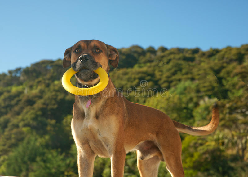 Dog holding yellow ring. stock images