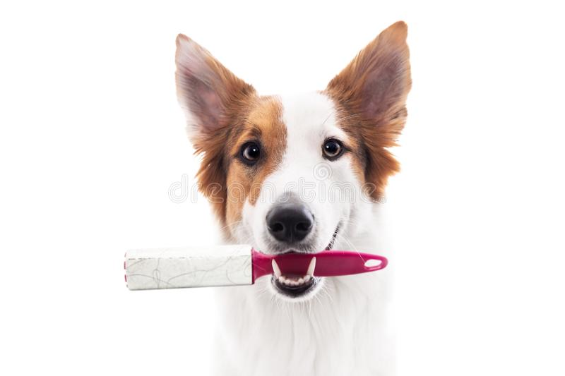 Dog holds a lint roller or animal hair remover in the mouth stock image