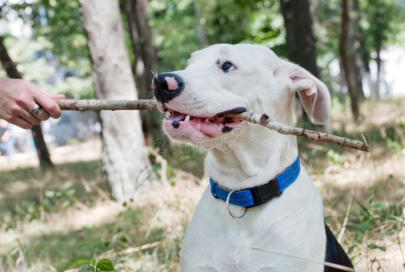 The dog holds a stick in his mouth. Plays with the host stock images