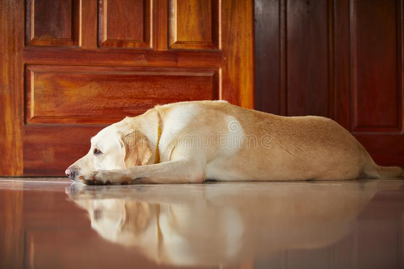 Download Dog At Home Royalty Free Stock Photo - Image: 34111295