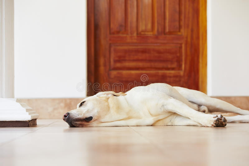 Dog at home royalty free stock images