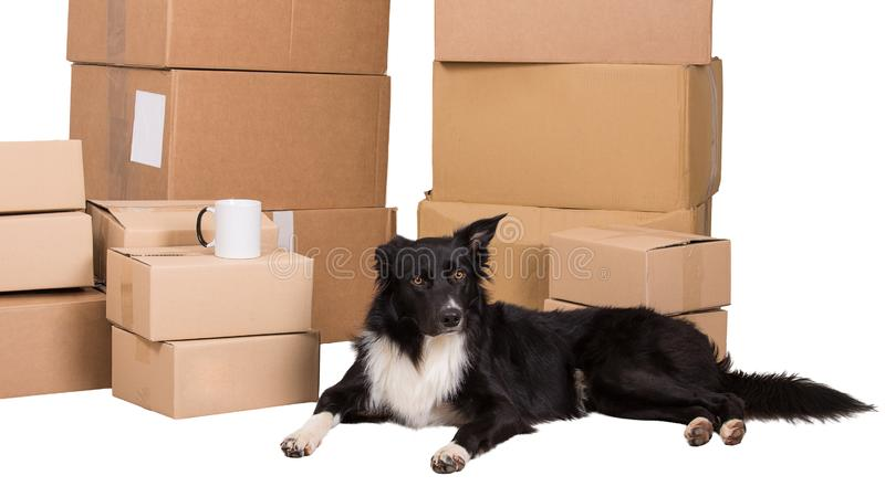 Dog home move. Home moving concept as border collie dog wait near the packed cardboard boxes ready to move to another house isolated over white background stock photos