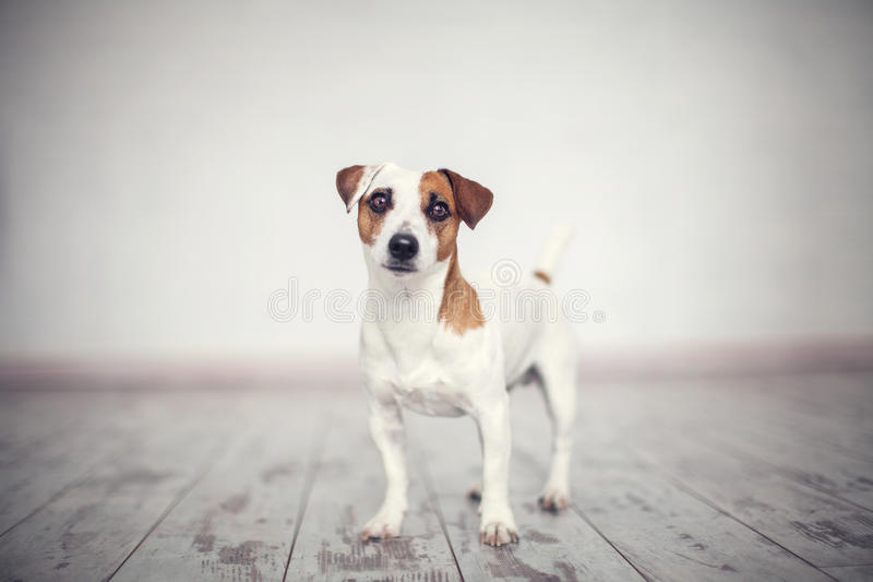 Dog at home. Pet jack russell stock image