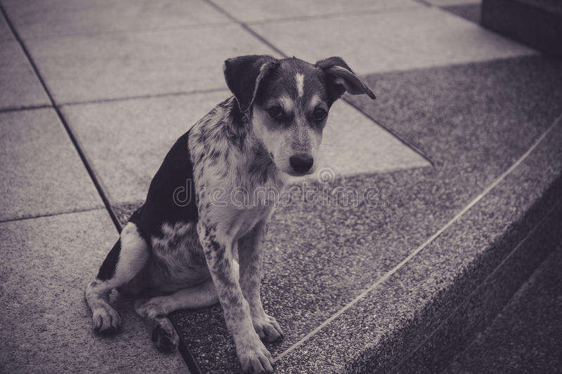 Dog of homeless dog stray at urban road in Thailand. Black and white image. Front side view dog of homeless dog stray at urban road in Thailand. Black and white royalty free stock photos