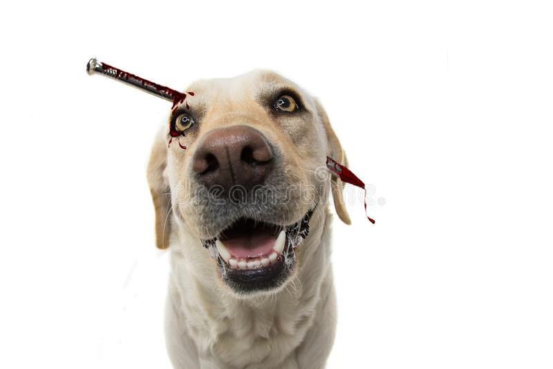 DOG HORROR HALLOWEEN COSTUME. LABRADOR NAIL THROUGH THE HEAD WITH BLOOD. ISOLATED STUDIO SHOT AGAINST WHITE BACKGROUND royalty free stock image
