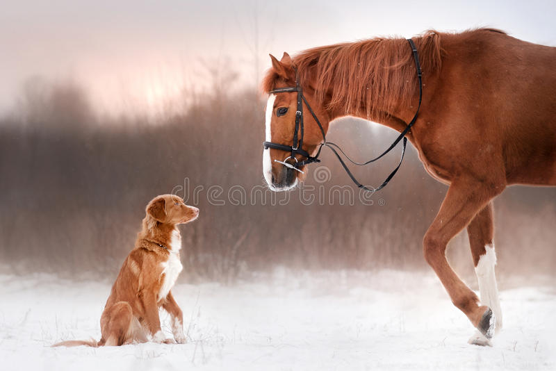 Dog and horse outdoors in winter. Dog Nova Scotia duck tolling Retriever and a horse outdoors in winter royalty free stock photography