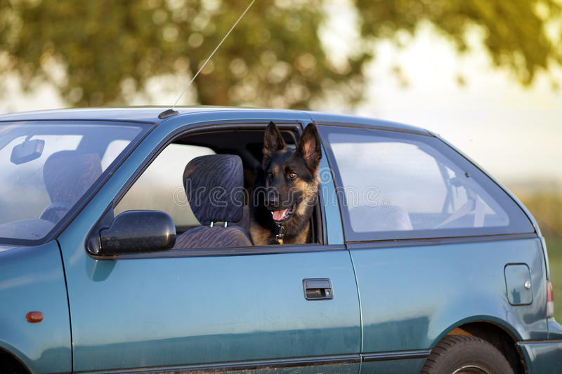 Dog in hot car in summer royalty free stock image