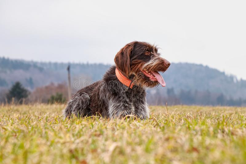 Dog Hound - Bohemian Wire Haired Pointing Griffon full of happiness watching something on field, some move, some sound. Bitch of. Good breed brim with smart stock photos