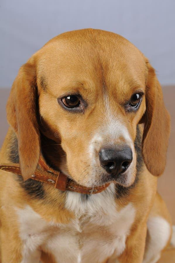 Dog hound hunting. Beagle. royalty free stock photos