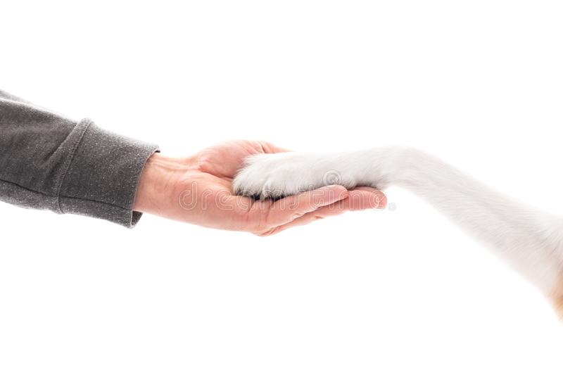 Dog and human as friend and partner, hand and paw on each other. Isolated in front of white stock photography