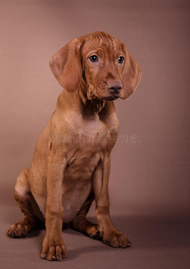 Dog Hungarian Vizsla pointer royalty free stock image