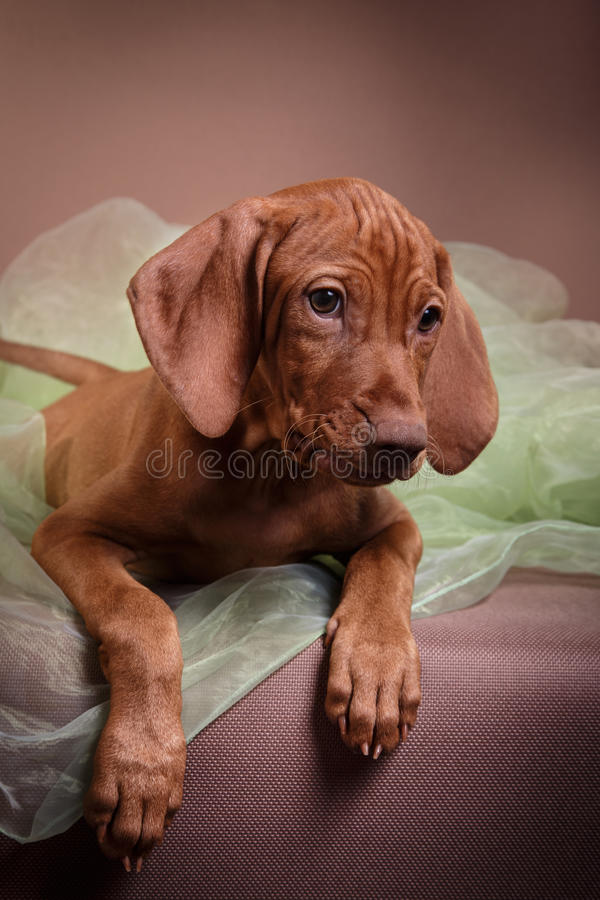 Dog Hungarian Vizsla pointer stock photos