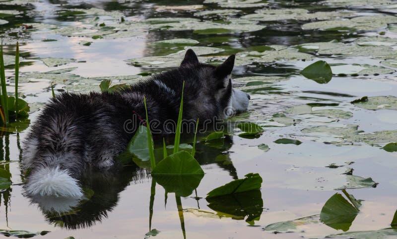 Dog on the hunt, Siberian Husky among water lilies on the water. Dog on the hunt, Siberian Husky among water lilies on the  river water royalty free stock photos