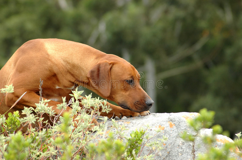 Dog hunting stock photography