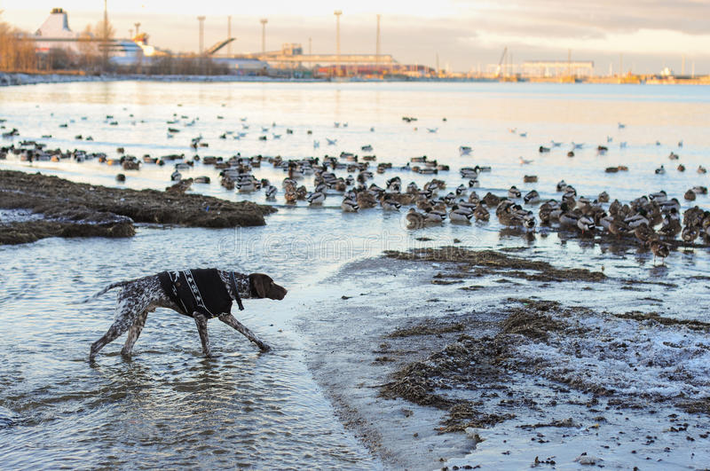 Dog hunts on ducks. Dog in hunting stand sea side in town, hunts on ducks royalty free stock photos