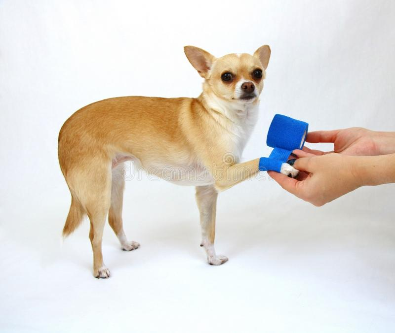 Dog with Hurt Leg. Small dog with hurt leg receiving care stock image