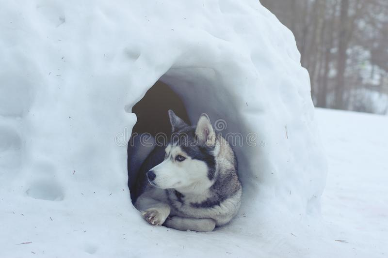 A dog of the Husky breed lies at the entrance to the house of snow, called igloo by the Eskimos.  stock photos