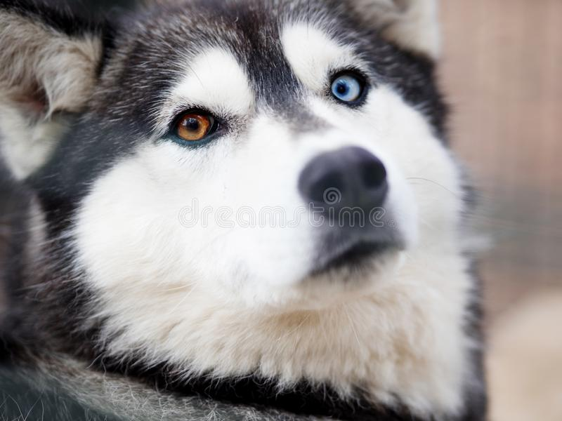 Dog husky close-up. Portrait of dog huskies stock photo