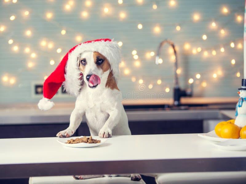 Dog i julhatten som äter mat arkivfoton