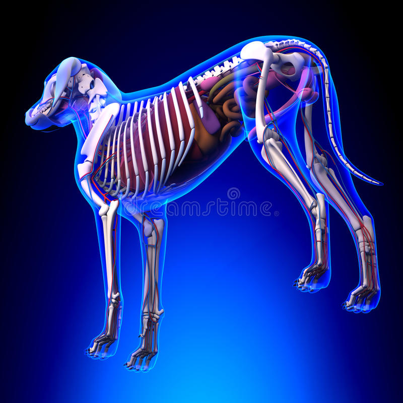 Dog Internal Organs Anatomy - Anatomy of a Male Dog Internal Org stock illustration