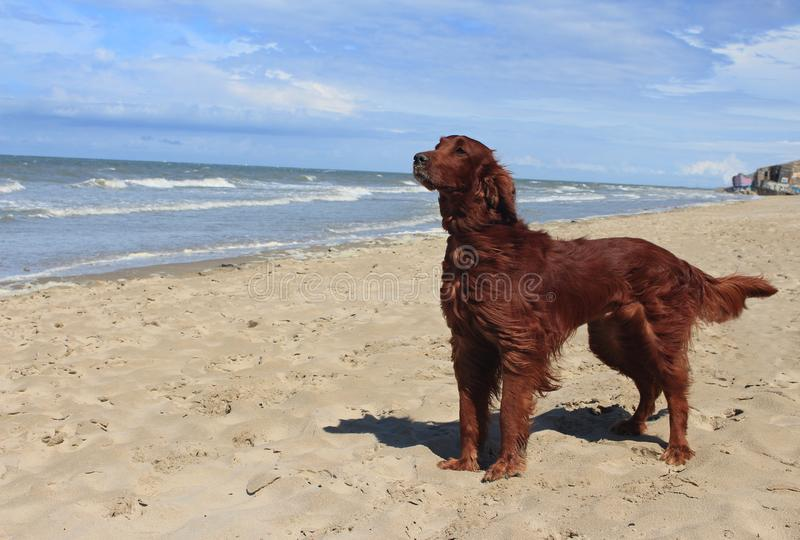 Dog Irish setter on the beach - Dunkerque stock photos