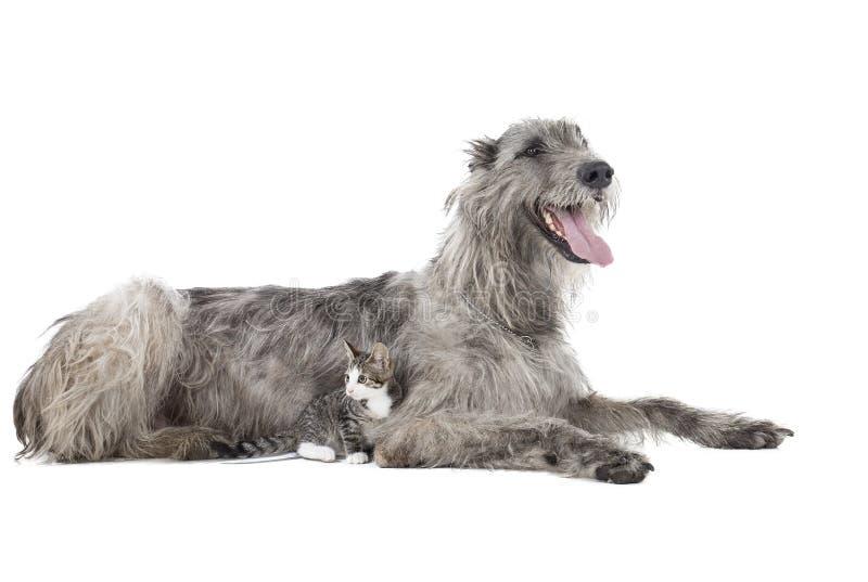 Dog (Irish Wolfhound) With A Kitten Stock Image - Image of irish, breed:  33212421