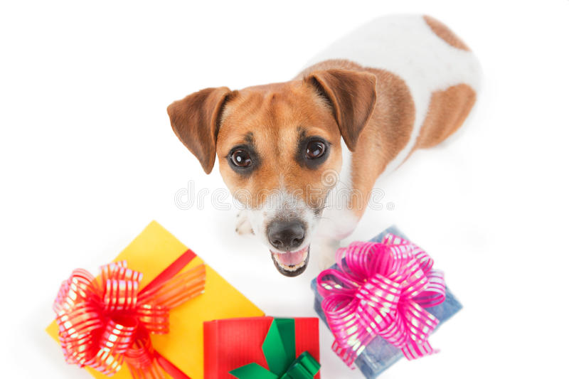 Dog Jack Russel terrier is seating near present boxes. Puppy with gifts looking upward on white background royalty free stock photos
