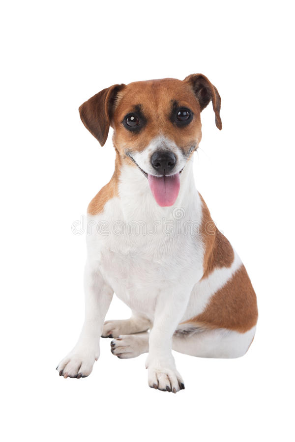 Dog Jack Russell terrier. Jack Russell terrier is looking at the camera isolated on white background stock images