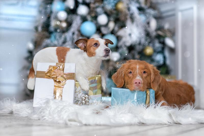 Dog Jack Russell Terrier and Dog Nova Scotia Duck Tolling Retriever holiday, Christmas and New Year stock image