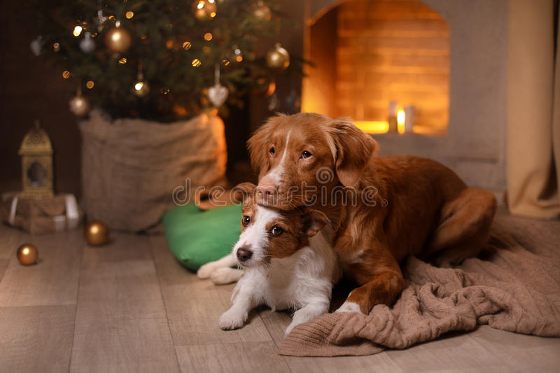 Dog Jack Russell Terrier and Dog Nova Scotia Duck Tolling Retriever . Happy New Year, Christmas, pet in the room the Christmas. Dog Jack Russell Terrier and Dog royalty free stock photo