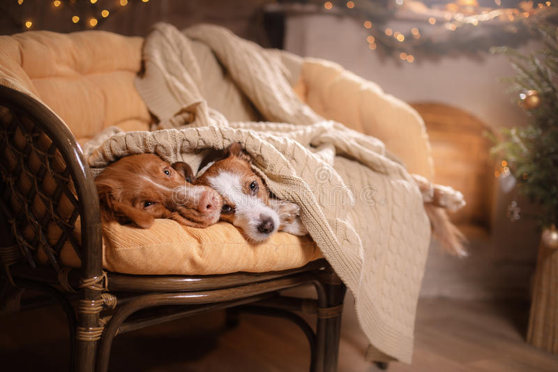 Dog Jack Russell Terrier and Dog Nova Scotia Duck Tolling Retriever . Happy New Year, Christmas, pet in the room the Christmas. Dog Jack Russell Terrier and Dog stock image