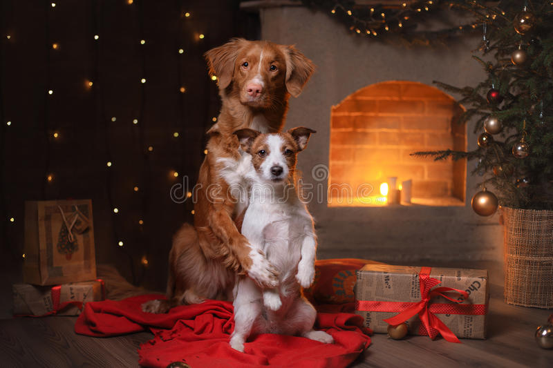 Dog Jack Russell Terrier and Dog Nova Scotia Duck Tolling Retriever . Happy New Year, Christmas. Pet in the room the Christmas tree royalty free stock photography