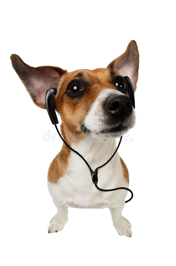 Dog Jack Russell Terrier with earphones. Cute dog listening to music on earphones on white background stock photos