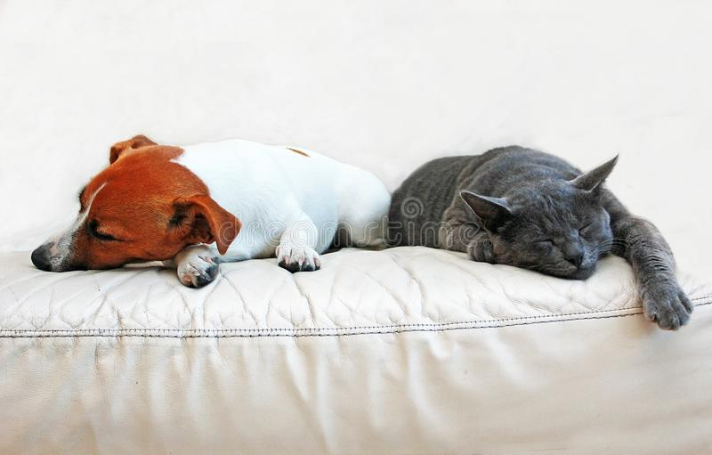 Dog Jack Russell Terrier and a gray cat breed Burmese sleep on a white sofa turned away from each other in a white room royalty free stock images