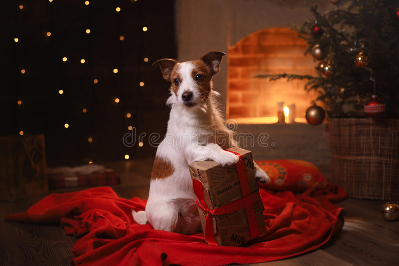 Dog Jack Russell Terrier. Happy New Year, Christmas, pet in the room. The Christmas tree royalty free stock photos